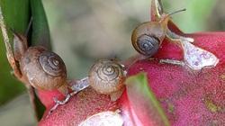 Bình Thuận: Loài ốc sên nguy hiểm đang phá hoại thanh long xuất hiện nhiều là do đâu?