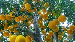 Hưng Yên: Vườn bưởi cảnh cổ thụ sai trĩu trịt, khách cọc sẵn tiền chỉ chờ cận Tết khuân đi