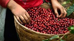 Giá nông sản hôm nay (25/12): Miền Bắc đứng đầu cả nước về giá lợn hơi, cà phê có dấu hiệu tích cực