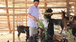 Nuôi toàn con đặc sản đen cả chuồng, một ông nông dân tỉnh Sơn La chăm nhàn mà thu hàng trăm triệu