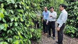 """Bình Dương: Nhiều nơi sót ruột vì giá tiêu thấp tè, sao nông dân trồng hồ tiêu ở đây vẫn """"bình chân như vại""""?"""