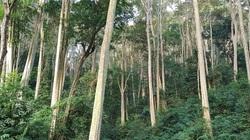"""""""Huyền thoại"""" của những người an ủi mẹ Rừng - Kỳ 3: Nguyên Bí thư huyện ủy dựng lán giữ rừng săng lẻ"""