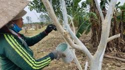 TT-Huế: Sau bão lũ, nông dân thị xã này quét vôi lên thân cây thanh trà để làm gì?