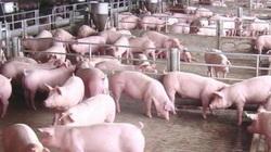 Bản tin giá cả nông sản ngày 27/12: Giá heo hơi đồng loạt tăng mạnh