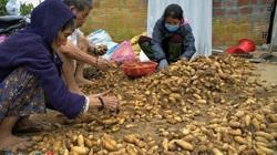 Quảng Ngãi: Nhiều nơi mất mùa rau quả, tôm cá, ở đây dân đào thứ cây ra nhiều củ, trúng mùa được giá