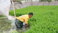 Ninh Bình: Nông dân trồng thứ rau gì dưới ao mà càng rét càng tốt, càng thơm, dâng nước lên cho sâu chết ngộp?