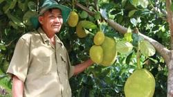 Phú Yên: Bất ngờ với vườn trồng đủ thứ mít, cây mãng cầu ra trái to bự, nhà nào trồng là giàu
