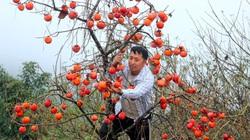 Nghệ An: Vùng biên cương xuất hiện những vườn hồng quả trĩu trịt, ăn ngọt lừ, thương lái trả tận gốc 40.000 đồng/kg