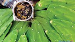 Ở tỉnh Quảng Ngãi cây lưỡi long này là loài cây gì, vì sao lại gọi là rau sạch, làm được mứt?