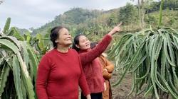 Cao Bằng: Đóng cọc xuống ruộng, trồng loài cây thích bò ra quả đỏ, ăn khen ngọt mà bán cũng đắt hàng
