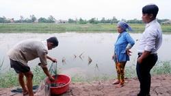 Bến Tre: Nuôi tôm càng xanh xen canh ruộng lúa, nông dân bất ngờ vì thu được gạo sạch, tôm to tươi rói