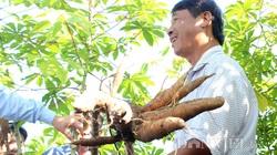 Tây Ninh công bố số liệu thống kê mới nhất: Người buồn kẻ vui bên gốc mía, cây mì