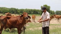 Long An: Xã biên giới này có ông nông dân nuôi gần 100 con bò mà làm giàu