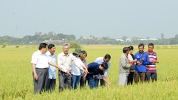 Hiệu quả mô hình trồng lúa bằng sữa tươi