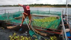 Đắk Lắk: Nuôi cá lăng nha trong lồng kiểu mới, cá nhanh lớn, bắt lên toàn con to bự