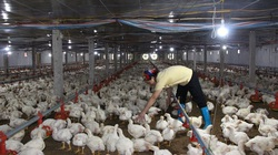 Giá gia cầm hôm nay 30/12: Giá gà thịt công nghiệp tăng mạnh, vịt thịt tiếp tục mất giá
