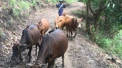 """Lão nông nuôi bò vùng heo hút với ước mơ cuộc sống """"nở hoa"""""""