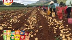 PepsiCo Việt Nam mở rộng vùng trồng khoai tây, cùng nông dân nâng cao chất lượng nông nghiệp