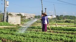 Sau những trận mưa lũ tơi tả, nông dân miền Trung kỳ vọng lớn vào vụ rau Tết