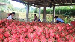 Thuận Châu đẩy mạnh phát triển các chuỗi liên kết trong sản xuất
