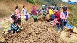 Lào Cai: Loại củ nhổ 1 gốc lên cả chùm, nhiều củ nặng tới 5kg, dân ở đây bán thu cả chục tỷ đồng