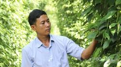 Bình Phước: Doanh nghiệp - nhà nông hợp tác trồng tiêu sạch, vườn tiêu đẹp như tranh, giá thì cao khỏi nói