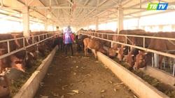 Chăn nuôi bò cao sản: Điều tiên quyết là nông dân phải biết áp dụng KHKT