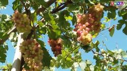 Nông dân miền Tây trồng thành công giống nho 3 màu