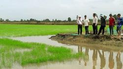 Bạc Liêu: Trồng giống lúa này, nông dân khỏi lo phải đi bán vì có doanh nghiệp mua hết