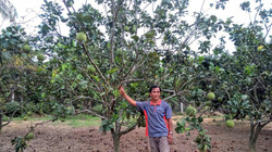 Phú Yên: Phu thê về làng dưỡng già, trồng bưởi da xanh chơi chơi, ai ngờ ra nhiều trái, bà con chòm xóm trồng theo