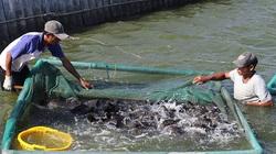 Khánh Hòa: Cá mú đặc sản nuôi ở TP Cam Ranh bị chết do bệnh lạ, cá nhiễm bệnh có chữa được không?