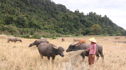 Tận dụng lợi thế, phát triển chăn nuôi, nông dân Chiềng Khay có thu nhập ổn định