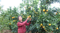 Nắm chắc kỹ thuật chăn nuôi, trồng trọt, nông dân tỉnh Sơn La nhanh khá giả