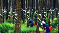 Bình Dương: Thu hồi 25 khu đất cấp cho Công ty Cao su Dầu Tiếng