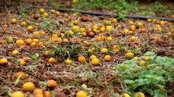 Hàng nghìn tấn cam Hà Giang rụng, Sở Nông nghiệp nói gì?