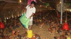 Giá gà rớt thảm, chủ trại mỗi tháng lỗ nửa tỷ đồng