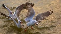 Từng đàn chim hải âu tranh nhau bắt cá trên sông ở Kiên Giang