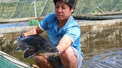Với 70 hồ nuôi cá tầm, 1 nông dân Lâm Đồng thu tiền tỷ mỗi năm