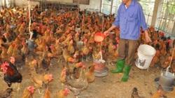 Cho gà ăn thảo dược vừa phòng cúm A/H5N1, vừa bán được giá cao