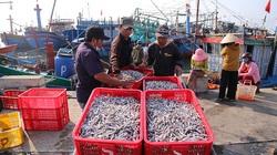 Ngư dân được mùa cá cơm