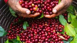 Giá cà phê giảm mạnh do virus Corona