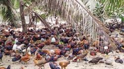 Bến Tre: Dân nuôi gà ta thả vườn phấn chấn, bán xô giá 75 ngàn/ký