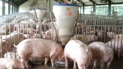 Giá heo hơi hôm nay 13/3: Bao giờ lợn hơi giảm về dưới 70.000 đ/kg?
