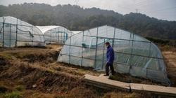 Nông dân Trung Quốc khốn khổ vì dịch virus corona chưa qua, nạn châu chấu lại tới