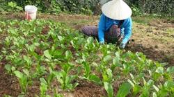 Lại Châu: Hiệu quả từ đề án phát triển sản xuất nông nghiệp hàng hóa