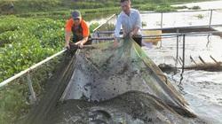Nuôi cá chép giòn, cá lóc đầu nhím lãi hàng trăm triệu đồng