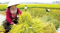 Năng lực sản xuất gạo của Việt Nam hiện tại ra sao?