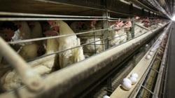 Hoảng loạn mua sắm đẩy giá trứng tại Hoa Kỳ tăng vọt