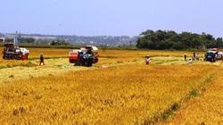 Bội thu vụ đông xuân, đề nghị cho xuất gạo trở lại
