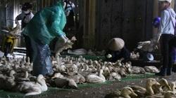 Giá gia cầm hôm nay 5/3: Giá vịt bấp bênh, gà công nghiệp tăng nhẹ